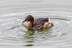20190908 (Randika Rathugamage) Tags: birds srilanka wetlands