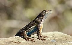 Coast range fence lizard (Sceloporus occidentalis bocourtii) (phl_with_a_camera1) Tags: elfin forest california coast range fence lizard sceloporus occidentalis bocourtii