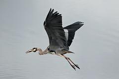 grey heron (DODO 1959) Tags: wildlife greyheron eel nature animal avian outdoor fauna flight feeding birds fish canon 100400mmmk2 7dmk2 carmarthenshire wales wwt llanelli