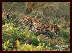 LEOPARD (Panthera pardus) ...MASAI MARA.....SEPT 2018. (M Z Malik) Tags: nikon d3x 200400mm14afs kenya africa safari wildlife masaimara keekoroklodge exoticafricanwildlife exoticafricancats flickrbigcats leopard pantheraparduc ngc npc