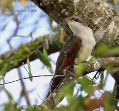 Yellow-billed Cuckoo (Mary Sonis) Tags: bird cuckoo insect tree wildlife migration carolina