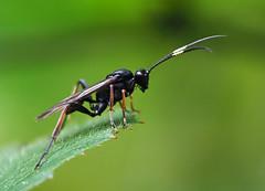Ichneumonidae sp., Forêt de Soignes, Brussels (Frank.Vassen) Tags: hymenoptera ichneumondae