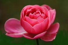 DSC02485 (Argstatter) Tags: makro blume bokeh blüten flower pink natur pflanze