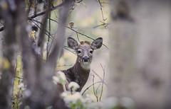 First Snow (chris.ph) Tags: deer snow alberta canon6d ef100400mmf4556lisiiusm animal portrait autumn trees