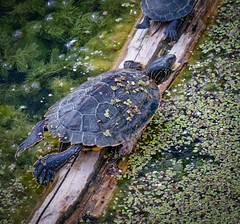 Northern Map Turtle (Richard Pilon) Tags: fujifilm fujinon55200mm fujixt3 northernmapturtle