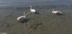 Friends (borisnaumoski) Tags: ohrid macedonia lake birds swans nature autumn october sunny