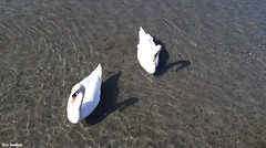 In calm waters (borisnaumoski) Tags: ohrid macedonia lake swans birds nature sunny october autumn