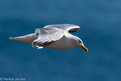 Flying Herring Gull (markus.jacobs1899) Tags: natur d500 tiere vögel wildtiere