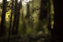 the woods are lovely dark and deep... (birdcloud1) Tags: forest woods trees green lightandshadow restful forestfloor foreststories revuenon55mm14 canoneos80d eos80d amandakeoghphotography amandakeogh birdcloud1 sanctuary dreams