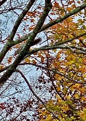Happy hungry squirrel amidst Autumn foliage. (nomad7674) Tags: 2019 20191012 october autumn fall foliage leaf leaves sheltonct shelton ct connecticut newengland squirrel rodent tree