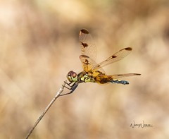 Calico Pennant (N2NATURE PHOTOGRAPHY) Tags: calico pennant dragonfly gus engeling wma anderson co texas