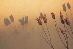 keeping beautiful memories on my mind (***étoile filante***) Tags: sonyilce6000 shadow schatten plant pflanze natur nature licht light liebe love life leben beautiful beauty beauté schönheit souldeep soulful soul seele poetic poetisch emotions emotional melancholisch melancholy memory erinnerung vintage herbst autumn