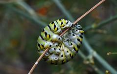 .. curl up into a ball (pontla) Tags: caterpillar curl ball nature