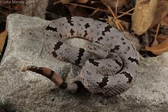 Banded Rock Rattlesnake (Crotalus lepidus klauberi) (jakemeney) Tags: banded rock rattlesnake crotalus lepidus klauberi snake venomous reptile arizona herping