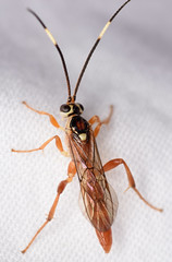 10.7 mm male ichneumon (ophis) Tags: hymenoptera parasitica ichneumonoidea ichneumonidae ichneumoninae ichneumonini cratichneumon cratichneumonfacetus ichneumon wasp