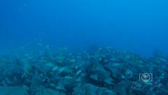 Sea Emperor Wreck and Reef Dive October 04, 2019 BLS-92BLS200 (brianlusmith) Tags: scuba divers scubadivers padi ocean diving coral reef fish rock underwater water sealife wreck saltwater