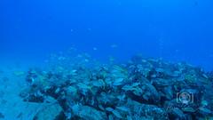 Sea Emperor Wreck and Reef Dive October 04, 2019 BLS-90BLS198 (brianlusmith) Tags: scuba divers scubadivers padi ocean diving coral reef fish rock underwater water sealife wreck saltwater
