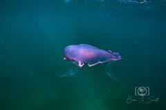 Copenhagen Wreck and Reef Dive September 27, 2019 BLS-74BLS70 (brianlusmith) Tags: scuba divers scubadivers padi ocean diving coral reef fish rock underwater water sealife wreck saltwater