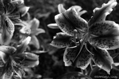 Tiger Lilly (Gary L. Quay) Tags: tigerlilly flower film 35mm nikon parkdale drapergirlsfarm adox macro garyquay