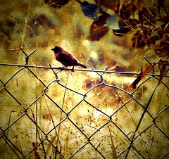 Into fields of gold (CatnessGrace) Tags: sliderssunday hss autumn birds nature leaves fence gold brown