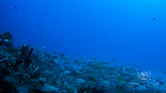Sea Emperor Wreck and Reef Dive October 04, 2019 BLS-62BLS170 (brianlusmith) Tags: scuba divers scubadivers padi ocean diving coral reef fish rock underwater water sealife wreck saltwater