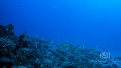 Sea Emperor Wreck and Reef Dive October 04, 2019 BLS-65BLS173 (brianlusmith) Tags: scuba divers scubadivers padi ocean diving coral reef fish rock underwater water sealife wreck saltwater