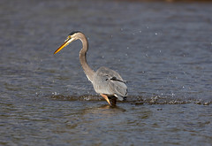 Heron fishing 1 - miss. (SusieMSB7) Tags: birds nature fishing heron