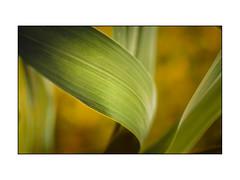 DETALLE_Natura (enriquemartinez76) Tags: hoja desenfoque verde amarillo naturaleza leaf blur green yellow nature