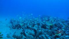 Sea Emperor Wreck and Reef Dive October 04, 2019 BLS-85BLS193 (brianlusmith) Tags: scuba divers scubadivers padi ocean diving coral reef fish rock underwater water sealife wreck saltwater