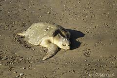 Stranded Sea Turtle 3 (Scott Sanford Photography) Tags: 6d canon carettacarretta ef24105f4l eos gulfcoast naturalbeauty naturallight nature outdoor sunlight texas turtleisland water wildfire breach injured loggerhead rescue seaturtle