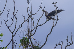 AQUILA DI CASSINI   ---   CASSINI'S EAGLE (Ezio Donati is ) Tags: uccelli birds animali animals natura nature alberi trees cielo sky nikond810 nikon200500 westafrica costadavorio abidjan
