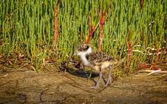 masked lapwing chick (Fat Burns ☮) Tags: maskedlapwing vanellusmiles bird australianbird fauna australianfauna kakadureserve banksiabeach bribieisland queensland australia nikond500 nikon20005000mmf56vr nature australiannature outdoors