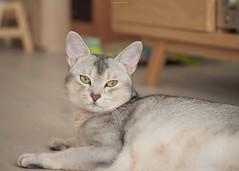 20190627_19_LR (enno7898) Tags: panasonic lumix lumixg9 dcg9 xvario 35100mm f28 cat abyssinian pet