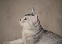 20190627_11_LR (enno7898) Tags: panasonic lumix lumixg9 dcg9 xvario 35100mm f28 cat abyssinian pet