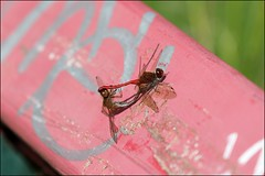 Libellule Dragonfly (P Nicole) Tags: nature libellule dragonfly insecte september septembre couple