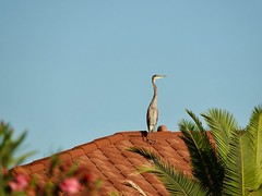 Arizona   -   Southeast   -   Great Blue Heron - Juvenile