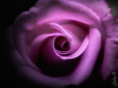 Purple Heart (Johnny Edward Bankson) Tags: 35mm chile cityflare edward flowersplants fujifilm fujinon fujinonxf35mmf20 john johnbankson johnedwardbankson johnb mcex16 mcex16macrotube photographer purple southamerica spring topaz topazlabs topazstudio topazstudio2 xt2 xf35mmf20 flor flora floral flores floret flower flowerbed flowers flowersandplants fotografia fotografo groundflower macro macroextensiontube macrosetup photographersonflickr photography violet wildflower xf35f2 ©johnbankson