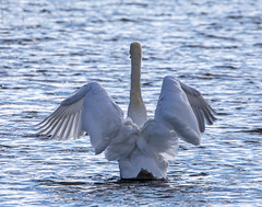 Ready for take off! (SusieMSB7) Tags: feathers birds nature water whiteswan swan