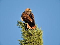 Arizona   -   Southeast   -   Red-Tailed Hawk