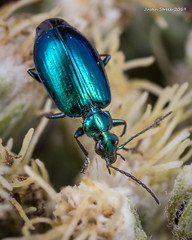 Metallic Blue-Green Ground Beetle (strjustin) Tags: beetle beautiful bug macro insect mpe flowers