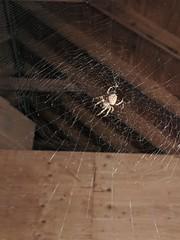 spider (BelmontAcresFarm) Tags: