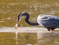 Heron fishing success (SusieMSB7) Tags: birds water nature fishing heron