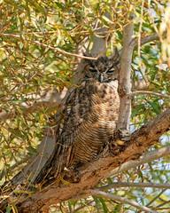 Owl in the Owl Tree (lennycarl08) Tags: greathornedowl owl sacramentonwr raptor birdofprey