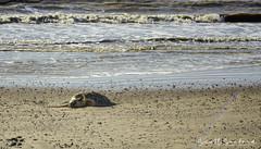 Stranded Sea Turtle 4 (Scott Sanford Photography) Tags: 6d canon carettacarretta ef24105f4l eos gulfcoast naturalbeauty naturallight nature outdoor sunlight texas turtleisland water wildfire breach injured loggerhead rescue seaturtle
