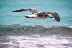 Seagull 1 (Enio Godoy - www.picturecumlux.com.br) Tags: niksoftware nikon d300s viveza2 cancun bluesea nikond300s seagull ps flying sea