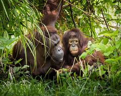Kuman (40) and her daugther Bella (5) Bornean orangutans (Pongo pygmaeus), Zoo Miami (N3ptun0) Tags: animal animals ape borneanorangutan cr criticallyendangered hominoidea iucn mammal mammalia miami nature orangutan pongo pongopygmaeus primate primates zoo zoomiami list red