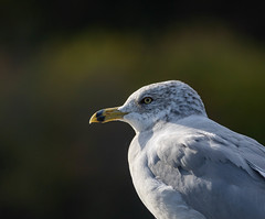 When the osprey's have gone....he's handsome, too! :) (SusieMSB7) Tags: nature portrait gull birds