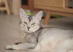 20190627_20_LR (enno7898) Tags: panasonic lumix lumixg9 dcg9 xvario 35100mm f28 cat abyssinian pet