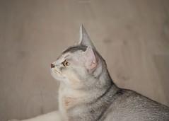 20190627_12_LR (enno7898) Tags: panasonic lumix lumixg9 dcg9 xvario 35100mm f28 cat abyssinian pet