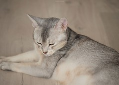 20190627_10_LR (enno7898) Tags: panasonic lumix lumixg9 dcg9 xvario 35100mm f28 cat abyssinian pet